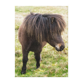 Shetland Pony, Shetland Islands, Scotland 3 Canvas Print