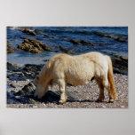 Shetland que come alga marina en Devon del sur ale Posters