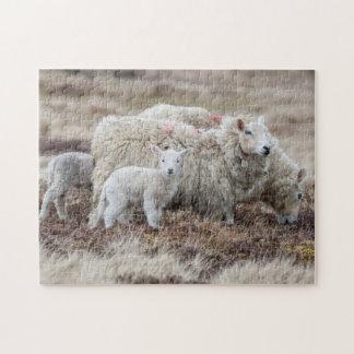 Shetland Sheep 2 Puzzle