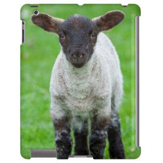 Shetland Sheep 4