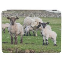Shetland Sheep 5 iPad Air Cover