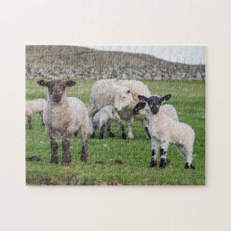 Shetland Sheep 5 Puzzle