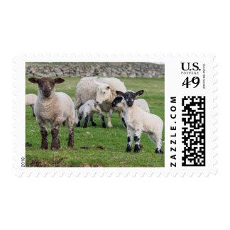 Shetland Sheep 5 Stamp