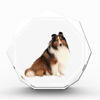Shetland Sheepdog (A) - Sable and white Award