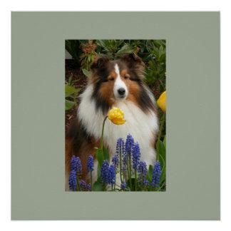 shetland sheepdog in flowers poster