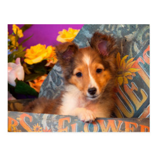 Shetland Sheepdog puppy in a hat box Postcard