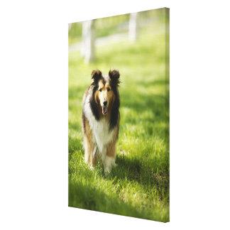 Shetland Sheepdog running on the grass Canvas Print