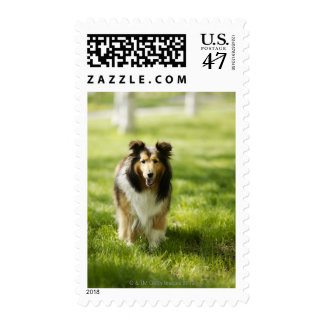 Shetland Sheepdog running on the grass Postage