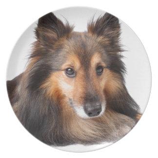 Shetland Sheepdog, Shetie ( Sable) looking cheeky Melamine Plate