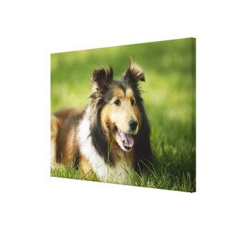 Shetland Sheepdog sitting on the grass Canvas Print