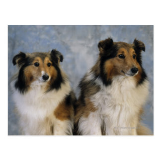Shetland Sheepdogs Postcard