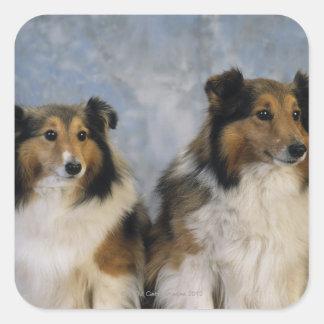 Shetland Sheepdogs Square Sticker