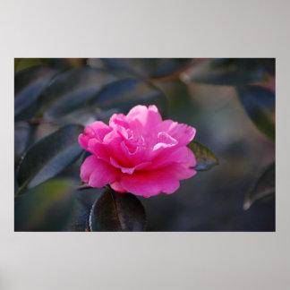 Shi Shi Camellia Poster