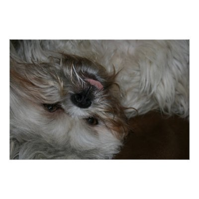 Funny Dogs And Puppies. shi tzu puppy dog adorable