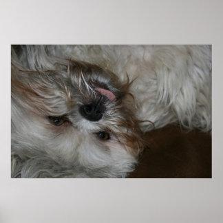 shi tzu puppy dog adorable cute photo poster
