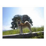 Shiba Inu Postcards