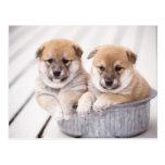 Shiba Inu puppies in aluminum tub Postcard