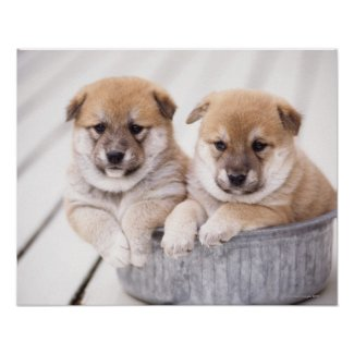 Shiba Inu puppies in aluminum tub Posters
