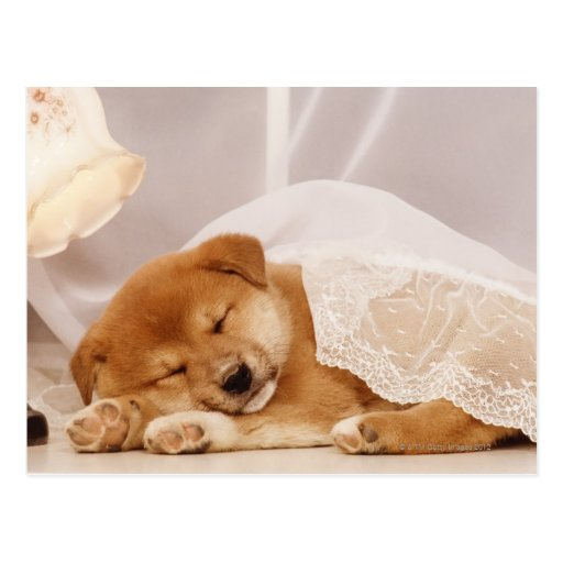 Shiba Inu puppy sleeping under a net curtain Postcard