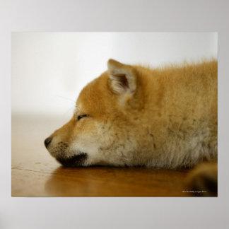 Shiba-ken durmiente 3 impresiones