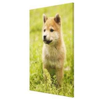 Shiba-ken puppy canvas print