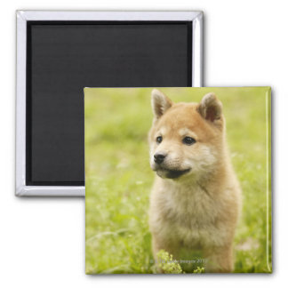Shiba-ken puppy magnet