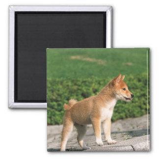 Shiba muy pequeño japonés 2 imán cuadrado