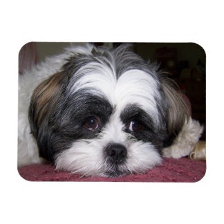 Shih Tzu Dog Photograph Rectangle Magnet