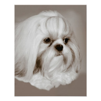 Shih Tzu Dog Portrait Poster