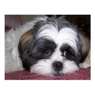 Shih Tzu Dog Postcard