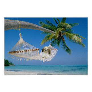 Shih Tzu Hanging Out Poster