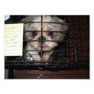Shih Tzu Looking Up From Inside Cage Photograph