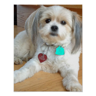 Shih Tzu mix Named Liz Poster