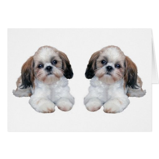 Shih Tzu Puppies Card