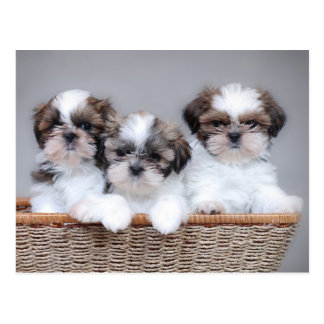 Shih Tzu puppies Postcard
