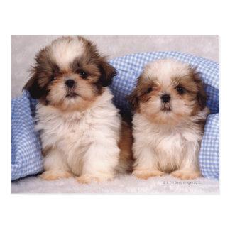 Shih Tzu puppies under a checked blanket Postcard