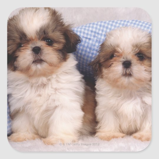 Shih Tzu puppies under a checked blanket Square Sticker