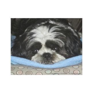 Shih Tzu Puppy Canvas Art to Warm Your Heart Canvas Print