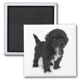 Shih Tzu Puppy Dog Black And White Shihtzu Magnet