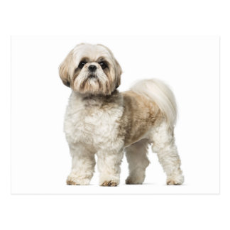 Shih Tzu Puppy Dog - Hello, Love, Miss You Postcard