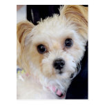 Shih Tzu/Yorkshire (Yorkie) Mixed Breed Postcards