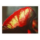 Shining red leaf postcard