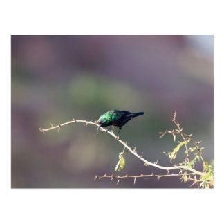 Shining Sunbird (Cinnyris habessinicus) Postcard