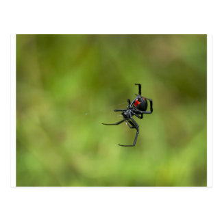 Shiny Red and Black Widow Spider Latrodectus macta Postcard