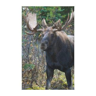 Shiras Bull Moose 1 Canvas Print