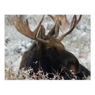 Shiras Bull Moose 2 Postcard