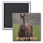 Shire Draft Horse, Hampshire, England Fridge Magnets