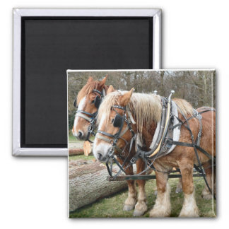 Shire Horses Fridge Magnets