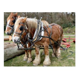 Shire Horses Postcard