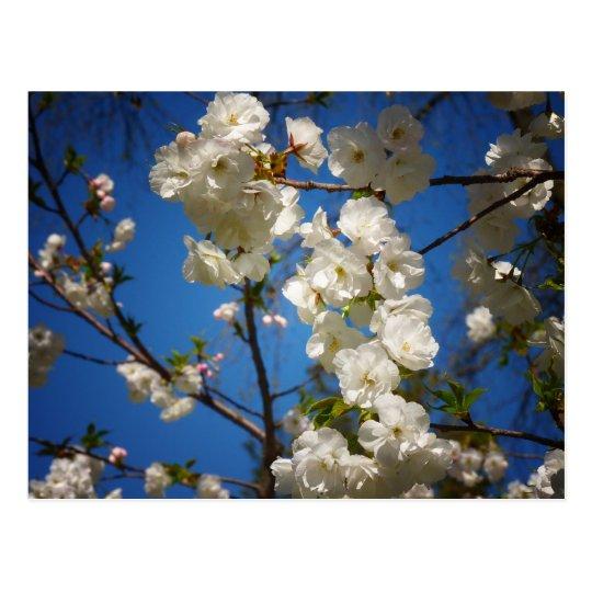 Shirotae Cherry Blossoms Against A Blue Sky Postcard